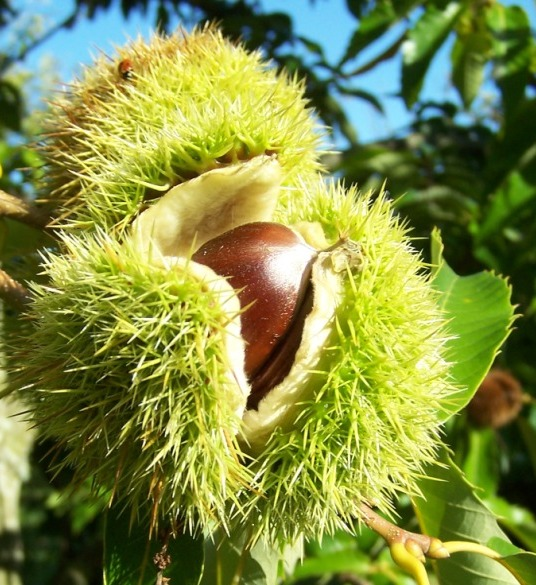 Nut Tree Identification http://www.fruitandnut.ie/nuts.html